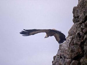 Observación del buitre en la Comarca de la vera de Extremadura